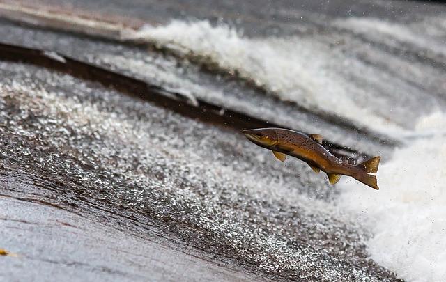 salmon-1107404_640